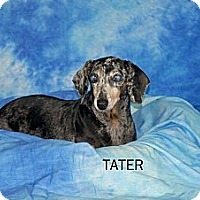 Adopt A Pet :: Tater - Ft. Myers, FL