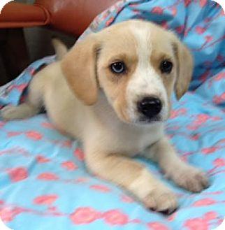 Labrador Retriever Mix Puppy for adoption in Avon, New York - Bindy