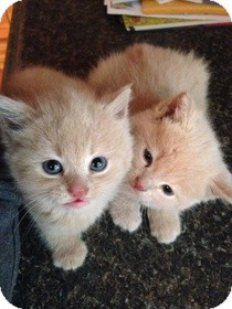 Domestic Mediumhair Kitten for adoption in Wythe County, Virginia - Ella & Pippa Orangepants