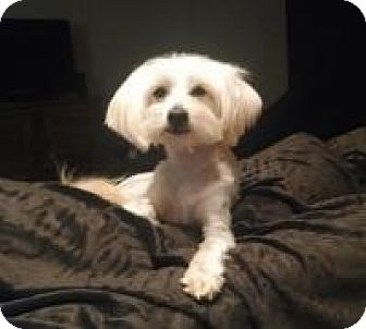 Maltese Mix Dog for adoption in Kingwood, Texas - Charlie