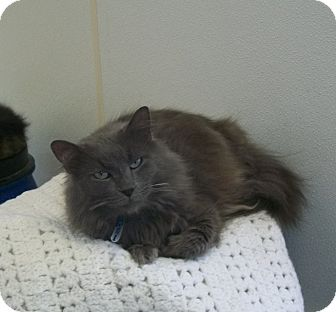 Domestic Longhair Cat for adoption in Martinsville, Indiana - Victor