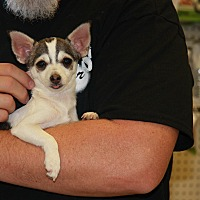 Adopt A Pet :: Gracie - Gilbert, AZ