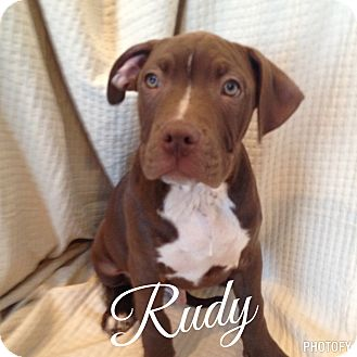 American Bulldog Mix Puppy for adoption in Morris, Illinois - RUDY