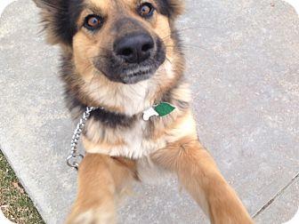Sheltie, Shetland Sheepdog Mix Dog for adoption in Littleton, Colorado - PORTIA