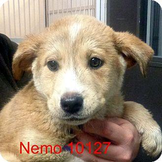 Alaskan Malamute/Husky Mix Puppy for adoption in Greencastle, North Carolina - Nemo
