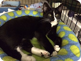 Domestic Shorthair Kitten for adoption in Byron Center, Michigan - Ruthie