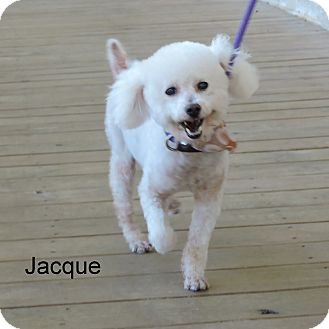 Poodle (Miniature) Mix Dog for adoption in Slidell, Louisiana - Jacque