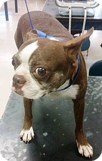 Boston Terrier Dog for adoption in Weatherford, Texas - SKITTLES