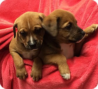 Boxer Mix Puppy for adoption in Greensburg, Pennsylvania - Boxer Mix Pups