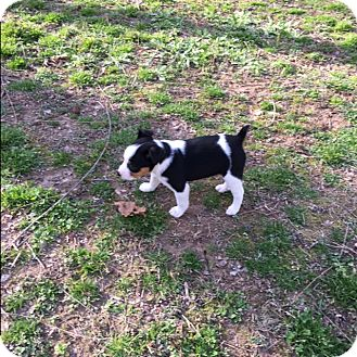 Terrier (Unknown Type, Small) Mix Puppy for adoption in Hohenwald, Tennessee - Kalla