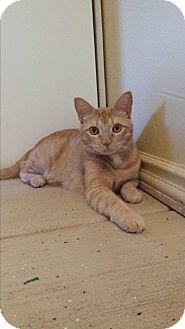 Domestic Shorthair Cat for adoption in Scottsdale, Arizona - Leo