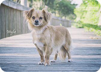 Pekingese/Pomeranian Mix Dog for adoption in San Leon, Texas - Mylo