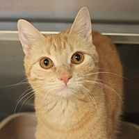 Domestic Shorthair Cat for adoption in Naperville, Illinois - Prego