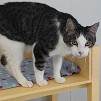 Domestic Shorthair Cat for adoption in El Cajon, California - Dot