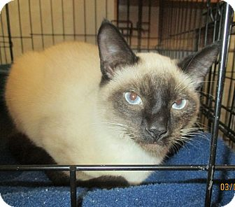 Siamese Cat for adoption in Mims, Florida - Smokey