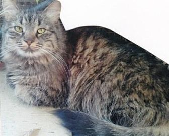 Domestic Mediumhair Cat for adoption in Calimesa, California - Rosalita