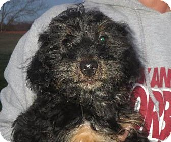 Poodle (Miniature)/Yorkie, Yorkshire Terrier Mix Puppy for adoption in Westport, Connecticut - Orvil