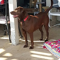 Adopt A Pet :: Chita - Austin, TX