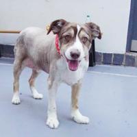 Adopt A Pet :: Chase - Philadelphia, PA