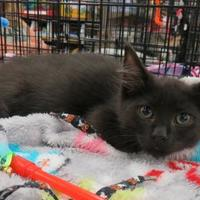 Adopt A Pet :: Barney - Ellicott City, MD