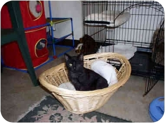 Domestic Mediumhair Cat for adoption in Tahlequah, Oklahoma - Blinkie