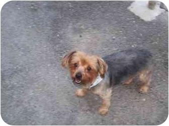 Yorkie, Yorkshire Terrier Dog for adoption in Spokane, Washington - Gage