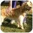 Photo 3 - Golden Retriever/Spaniel (Unknown Type) Mix Dog for adoption in Huntsville, Alabama - Puggles & Tuggles