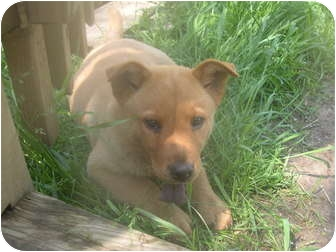 Chow Chow/Akita Mix Puppy for adoption in Wauseon, Ohio - Fluffy Puppies