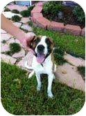 American Pit Bull Terrier/Boxer Mix Dog for adoption in Houston, Texas - Ava