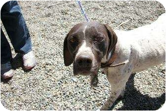 German Shorthaired Pointer Dog for adoption in McIntosh, New Mexico - VANNA