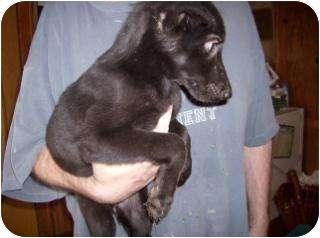 Dachshund/Chihuahua Mix Dog for adoption in Edon, Ohio - Lakota..ADOPTED