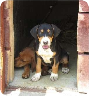 Bloodhound/Treeing Walker Coonhound Mix Dog for adoption in Lawrenceburg, Tennessee - Billy