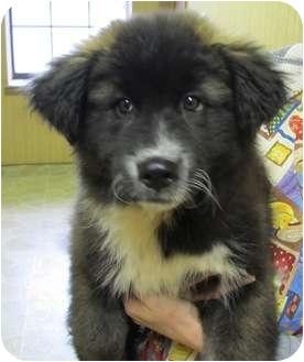 Alaskan Malamute/Border Collie Mix Puppy for adoption in Foster, Rhode Island - Piper