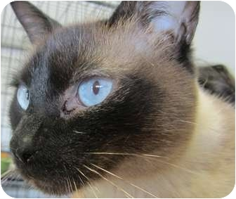 Tonkinese Cat for adoption in Bunnell, Florida - Symie