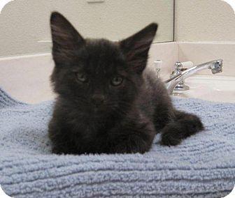 Domestic Shorthair Kitten for adoption in Phoenix, Arizona - Captain Jack