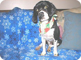 Cocker Spaniel Dog for adoption in Kannapolis, North Carolina - Louie  -Adopted!