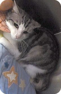 Domestic Shorthair Cat for adoption in St. Petersburg, Florida - Gypsy