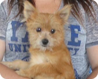 Pomeranian/Yorkie, Yorkshire Terrier Mix Puppy for adoption in Allentown, Pennsylvania - Paul
