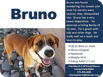 St. Bernard Mix Dog for adoption in Las Cruces, New Mexico - Bruno