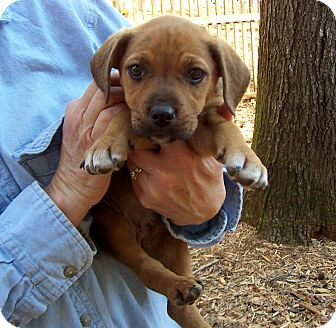 Boxer Mix Puppy for adoption in Greensboro, Georgia - Tawney