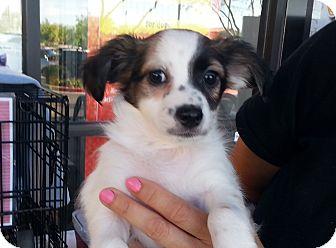 Papillon/Pomeranian Mix Puppy for adoption in Chandler, Arizona - Scrambler
