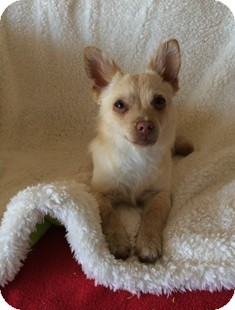 Pomeranian/Chihuahua Mix Dog for adoption in Tustin, California - Starkist