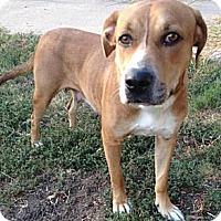 Adopt A Pet :: Canela Cleopatra - plano, TX