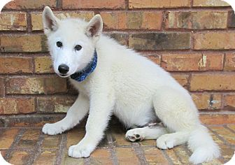 Husky Mix Puppy for adoption in Benbrook, Texas - Ghost