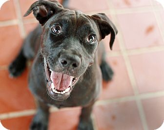 Labrador Retriever/Boxer Mix Dog for adoption in Everman, Texas - Squish