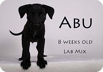 Labrador Retriever Mix Puppy for adoption in Gainesville, Florida - Abu