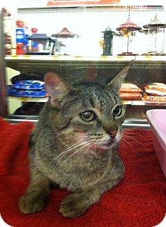 Domestic Shorthair Cat for adoption in Arlington/Ft Worth, Texas - Milly