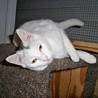 American Shorthair Cat for adoption in Land O Lakes, Florida - Chrysanthium