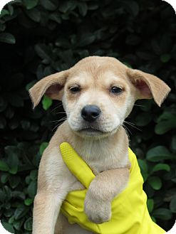 Dachshund/Chihuahua Mix Puppy for adoption in Middleburg, Florida - Dixie