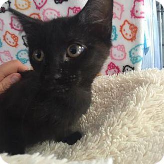 Domestic Shorthair Kitten for adoption in Fountain Hills, Arizona - BEAR